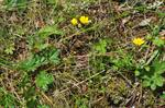 Guld-Potentil (Potentilla crantzii)